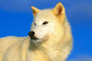 White Wolf - Obrázkek zdarma pro 960x800