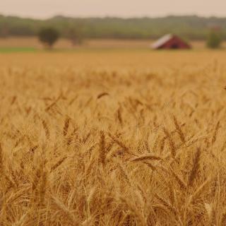 Ears of rye and wheat - Obrázkek zdarma pro 320x320