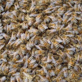 Bees - Obrázkek zdarma pro 1024x1024