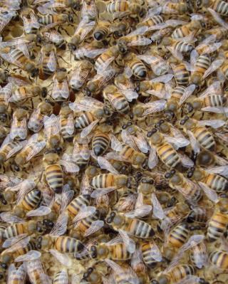 Bees - Obrázkek zdarma pro iPhone 5C
