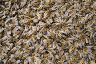 Bees Background for Android, iPhone and iPad
