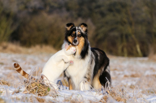 Friendship Cat and Dog Collie - Obrázkek zdarma pro 720x320