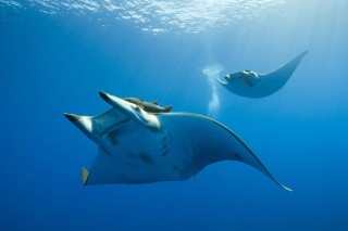 Sting Ray Background for Android, iPhone and iPad
