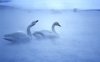 White Swans Background for Android, iPhone and iPad