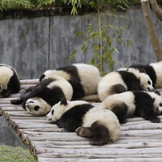 Funny Pandas Relaxing - Obrázkek zdarma pro 2048x2048