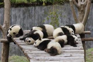 Funny Pandas Relaxing - Obrázkek zdarma pro 1080x960