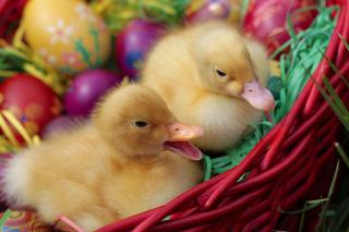 Yellow Duckling - Obrázkek zdarma pro 1280x800