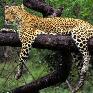African Leopard - Obrázkek zdarma pro iPad mini 2