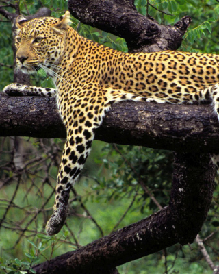 African Leopard - Obrázkek zdarma pro iPhone 6 Plus