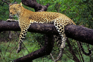 African Leopard Picture for Android, iPhone and iPad