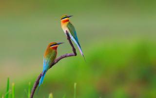 Golden Bee-Eater Birds - Obrázkek zdarma pro Desktop Netbook 1366x768 HD