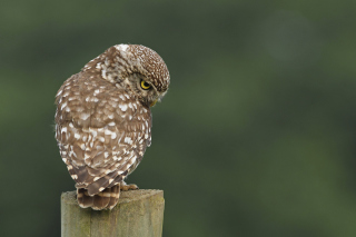 Free Owl Picture for Android, iPhone and iPad
