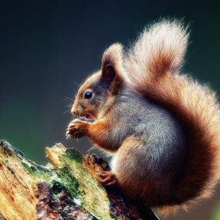 Squirrel Eating A Nut - Obrázkek zdarma pro 320x320