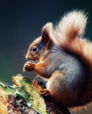 Squirrel Eating A Nut - Obrázkek zdarma pro Nokia Asha 202