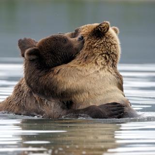 Brown Bear Hug - Obrázkek zdarma pro 2048x2048