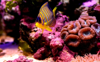 Free Reef Fish Picture for Android, iPhone and iPad