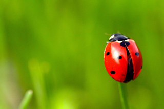 Red Lady Bug Wallpaper for Android, iPhone and iPad