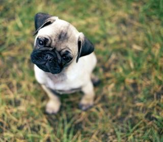Cute Pug On Grass - Obrázkek zdarma pro iPad 2