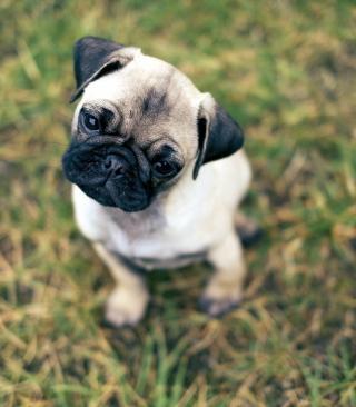 Cute Pug On Grass - Obrázkek zdarma pro 768x1280