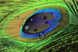 Peacock Feather - Obrázkek zdarma pro Samsung Google Nexus S
