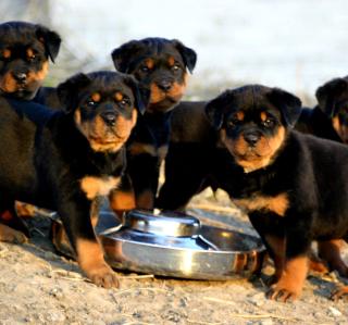 Rottweiler - Obrázkek zdarma pro 2048x2048