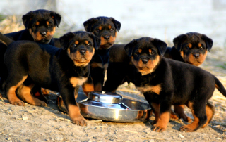 Rottweiler Background for Android, iPhone and iPad