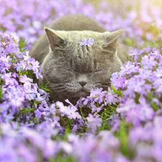 Sleepy Grey Cat Among Purple Flowers - Obrázkek zdarma pro iPad mini