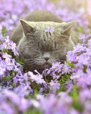 Sleepy Grey Cat Among Purple Flowers - Obrázkek zdarma pro iPhone 5S