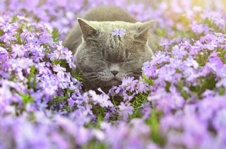Sleepy Grey Cat Among Purple Flowers - Obrázkek zdarma pro Widescreen Desktop PC 1600x900