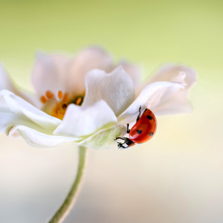 Lady beetle on White Flower - Obrázkek zdarma pro iPad 3