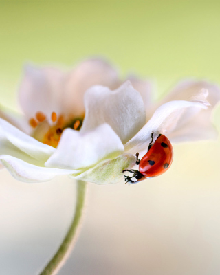 Lady beetle on White Flower - Obrázkek zdarma pro 240x320