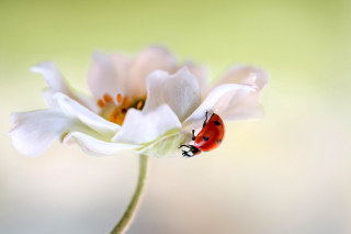 Lady beetle on White Flower - Obrázkek zdarma pro Widescreen Desktop PC 1920x1080 Full HD