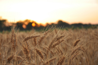 Free Wheat Field Picture for Android, iPhone and iPad