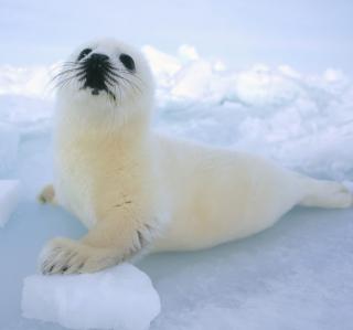 Seal Baby - Obrázkek zdarma pro 2048x2048