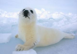 Seal Baby - Obrázkek zdarma pro Desktop 1280x720 HDTV