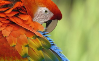 Parrot Close Up Wallpaper for Android, iPhone and iPad