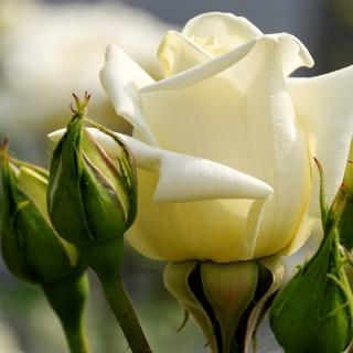 White Rose Closeup - Obrázkek zdarma pro iPad mini 2