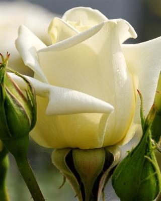 White Rose Closeup - Obrázkek zdarma pro 240x400