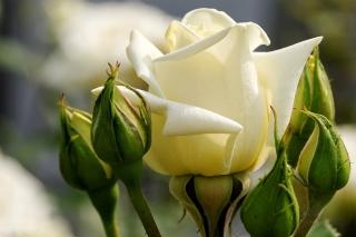 White Rose Closeup - Obrázkek zdarma pro Samsung Galaxy S3