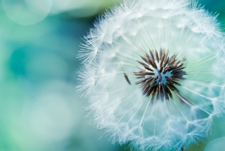 Dandelion Picture for Android, iPhone and iPad