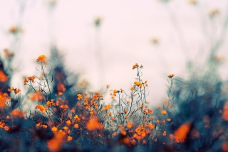 Field Of Orange Flowers Picture for Android, iPhone and iPad