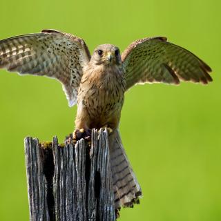 Hawk - Obrázkek zdarma pro iPad