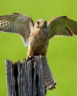 Hawk - Obrázkek zdarma pro 480x854