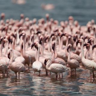 Pink Flamingos - Obrázkek zdarma pro iPad mini 2