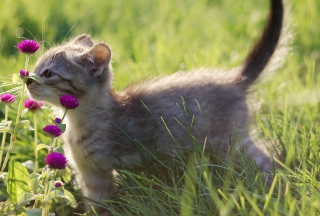 Free Small Kitten Smelling Flowers Picture for Android, iPhone and iPad