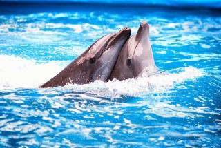 Dolphins Couple - Obrázkek zdarma pro Fullscreen Desktop 1600x1200