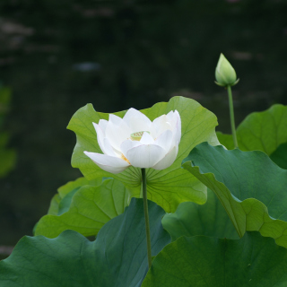 White Water Lily - Obrázkek zdarma pro 320x320