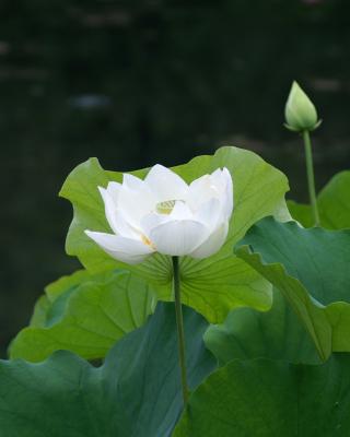 White Water Lily - Obrázkek zdarma pro 132x176