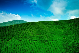 Tea Hills Wallpaper for Android, iPhone and iPad