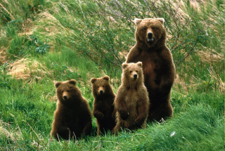 Free Bears Family Picture for Android, iPhone and iPad